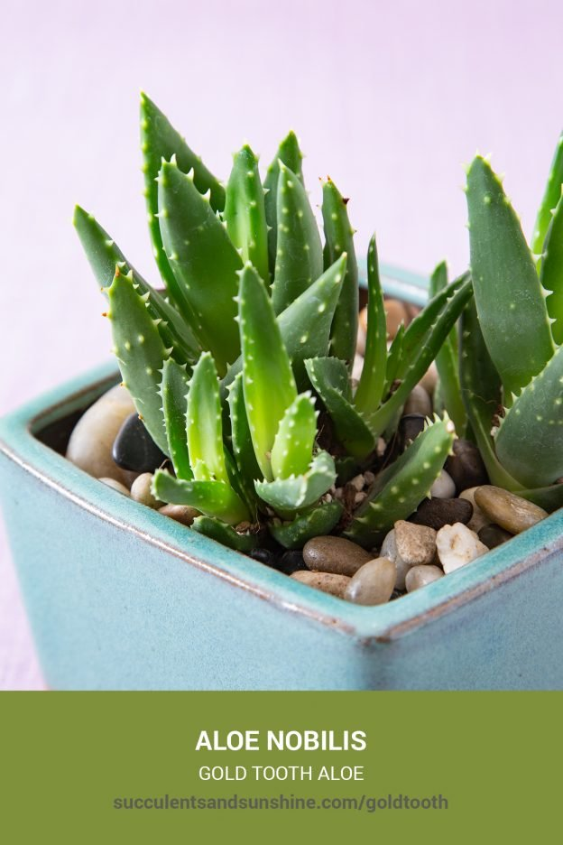 How to care for and propagate Aloe nobilis Gold Tooth Aloe