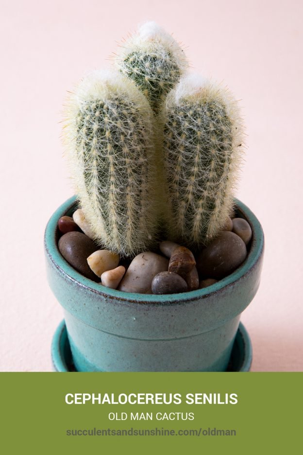 How to care for and propagate Cephalocereus senilis Old Man Cactus