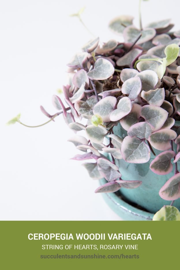 How to care for and propagate Ceropegia woodii variegata String of Hearts