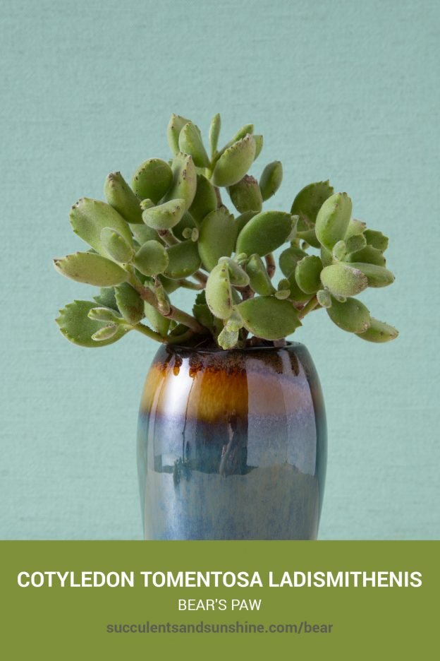How to care for and propagate Cotyledon tomentosa ladismithenis