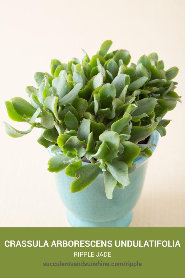 How to care for and propagate Crassula arborescens undulatifolia Ripple Jade