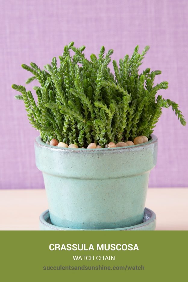 How to care for and propagate Crassula muscosa Watch Chain
