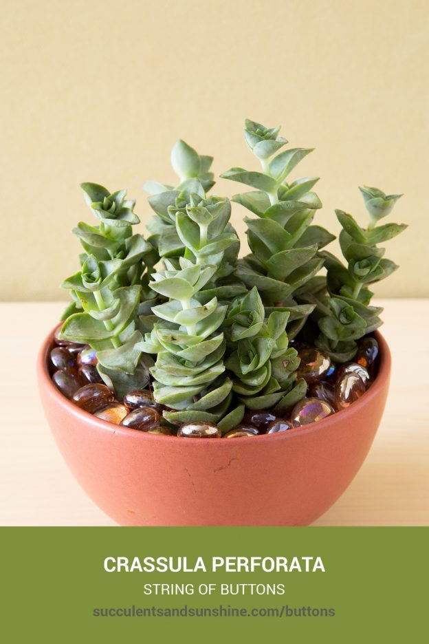 How to care for and propagate Crassula perforata String of Buttons