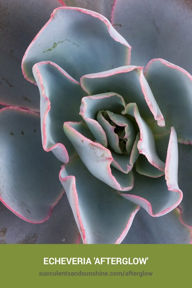 How to care for and propagate Echeveria 'Afterglow'