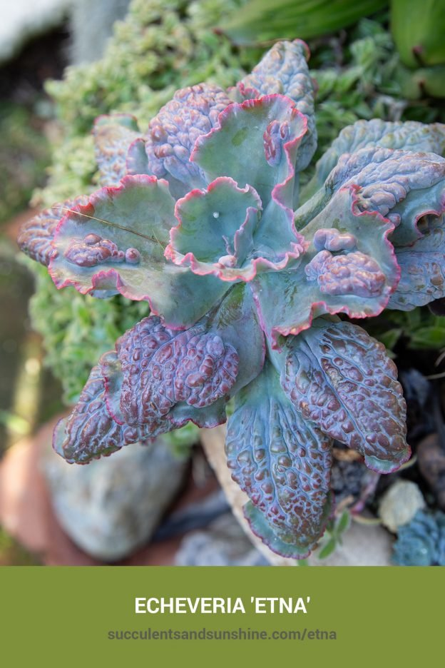 How to care for and propagate Echeveria 'Etna'
