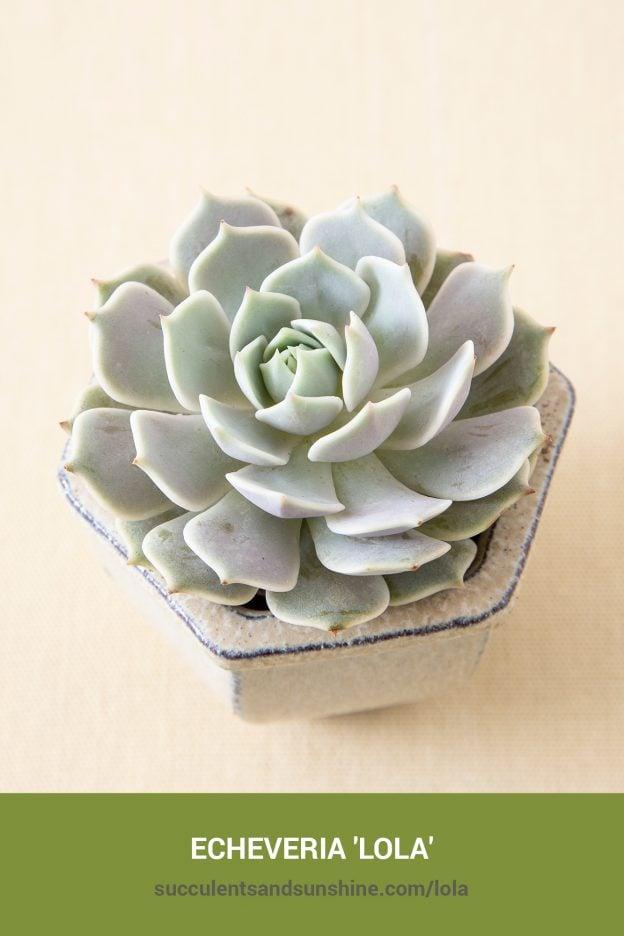How to care for and propagate Echeveria 'Lola'