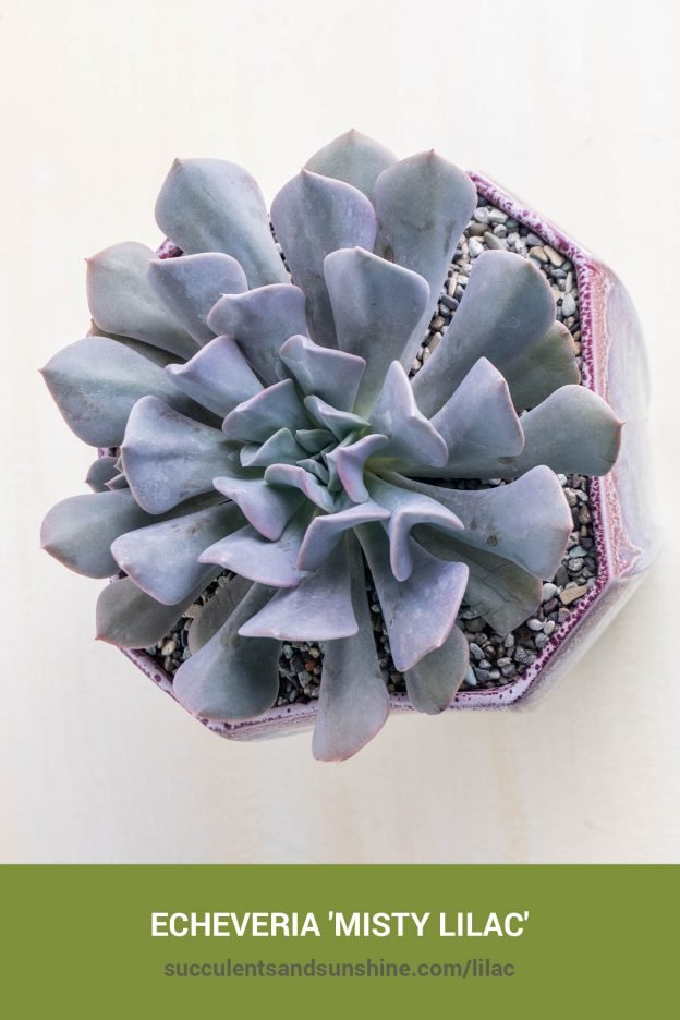 How to care for and propagate Echeveria 'Misty Lilac'