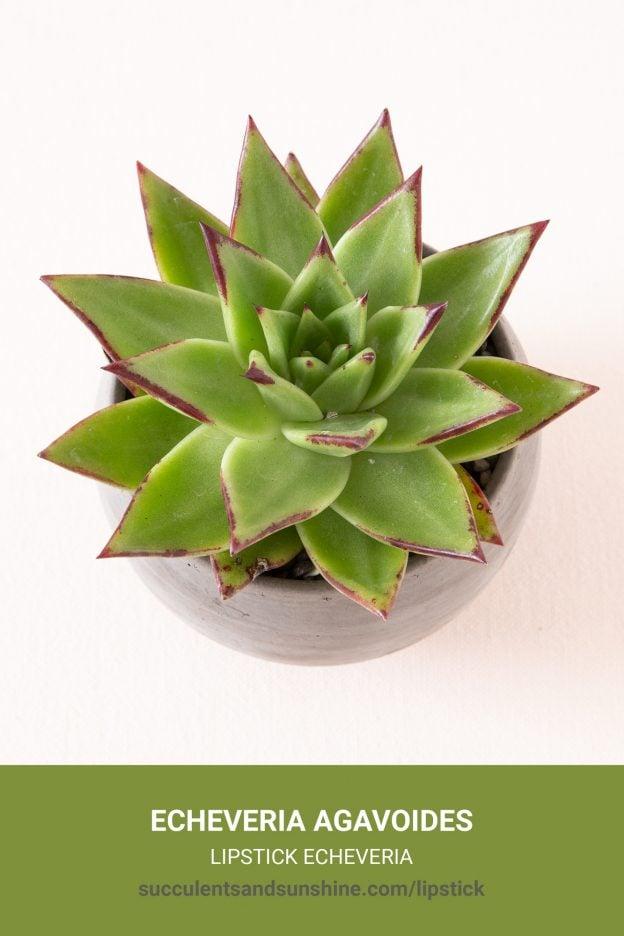 How to care for and propagate Echeveria agavoides Lipstick Echeveria