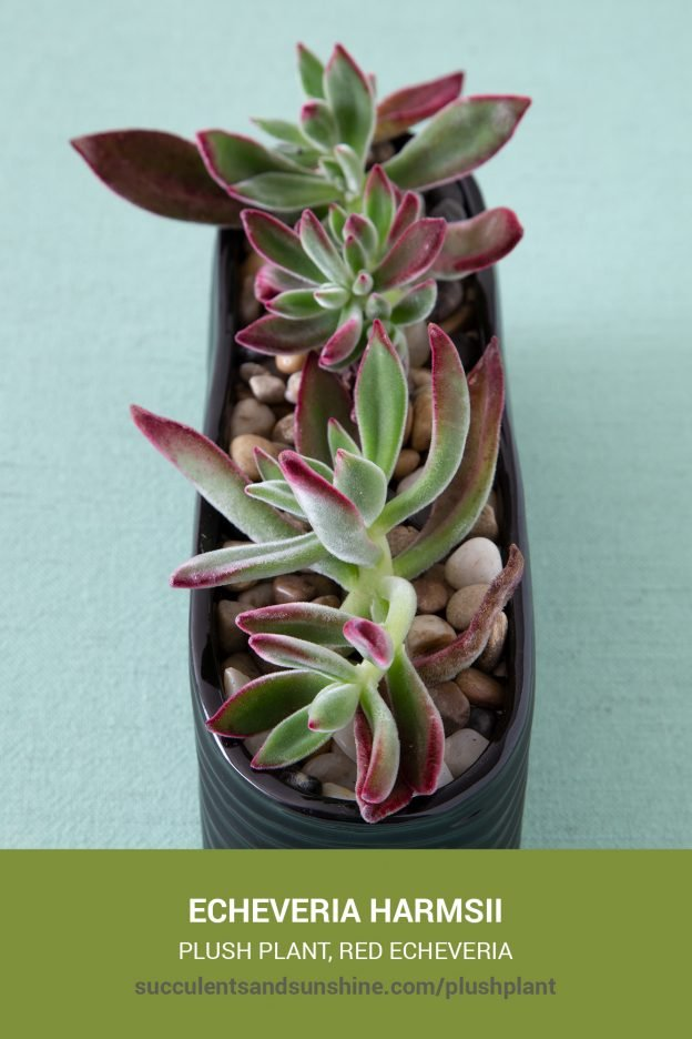 How to care for and propagate Echeveria harmsii Plush Plant