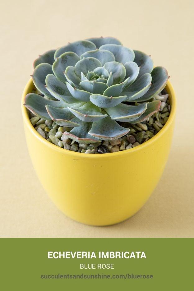 How to care for and propagate Echeveria imbricata Blue Rose