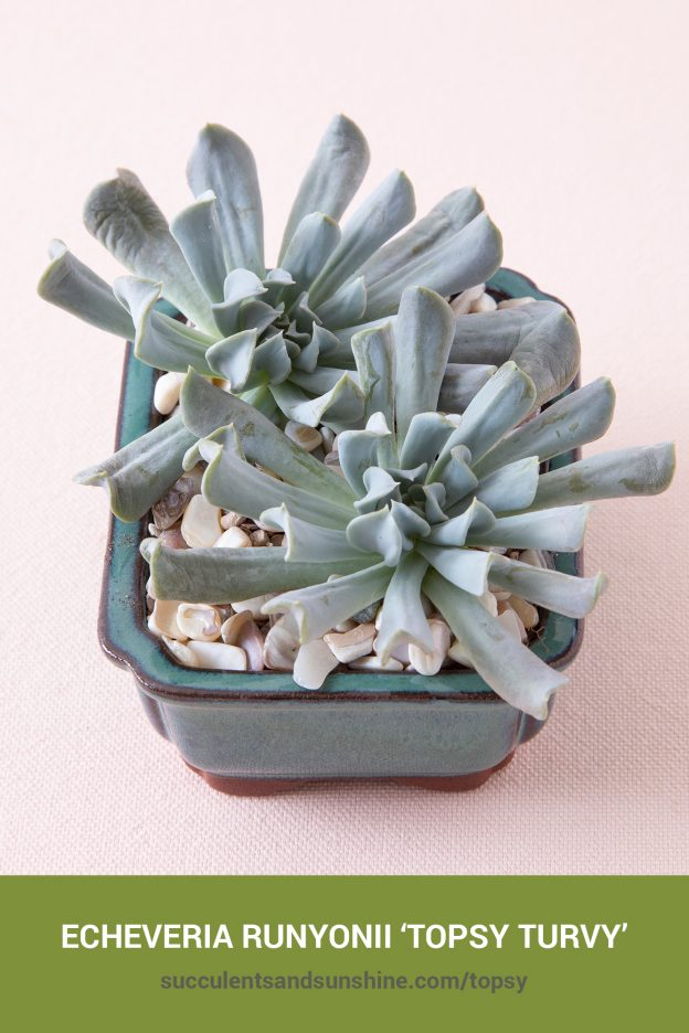 How to care for and propagate Echeveria runyonii 'Topsy Turvy'