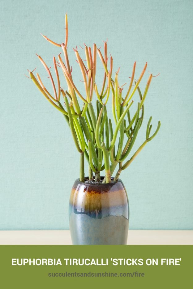 How to care for and propagate Euphorbia tirucalli 'Sticks on Fire'