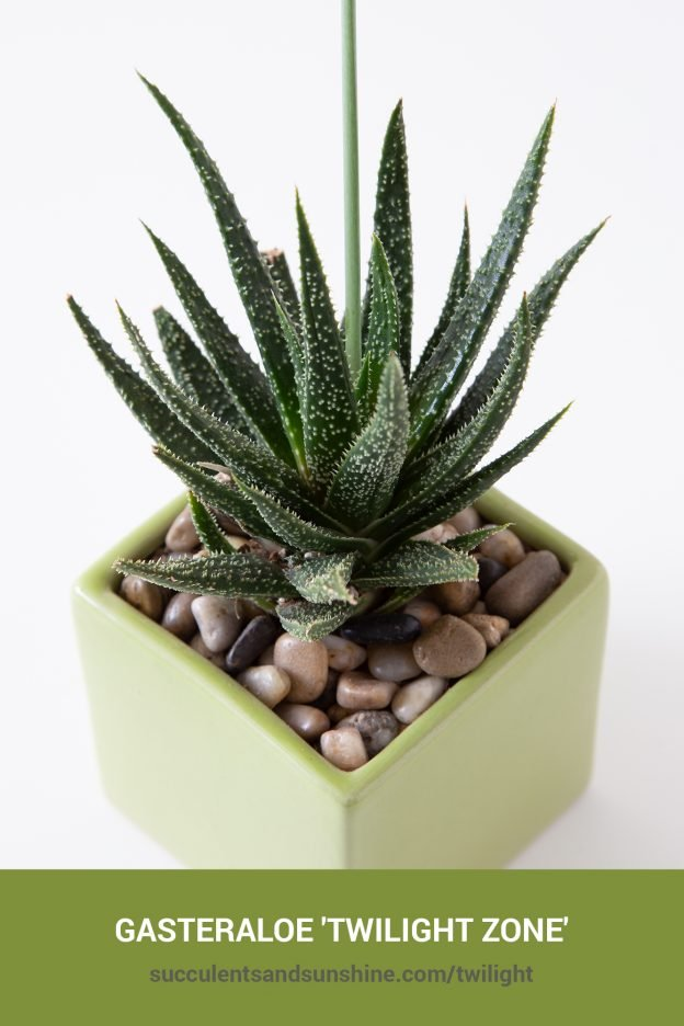 How to care for and propagate Gasteraloe 'Twilight Zone'