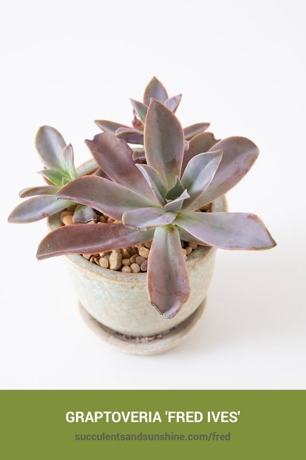 How to care for and propagate Graptoveria 'Fred Ives'