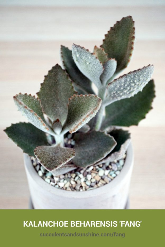 How to care for and propagate Kalanchoe beharensis 'Fang'
