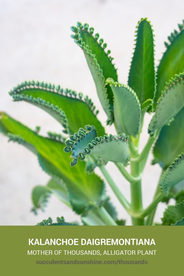 How to care for and propagate Kalanchoe daigremontiana