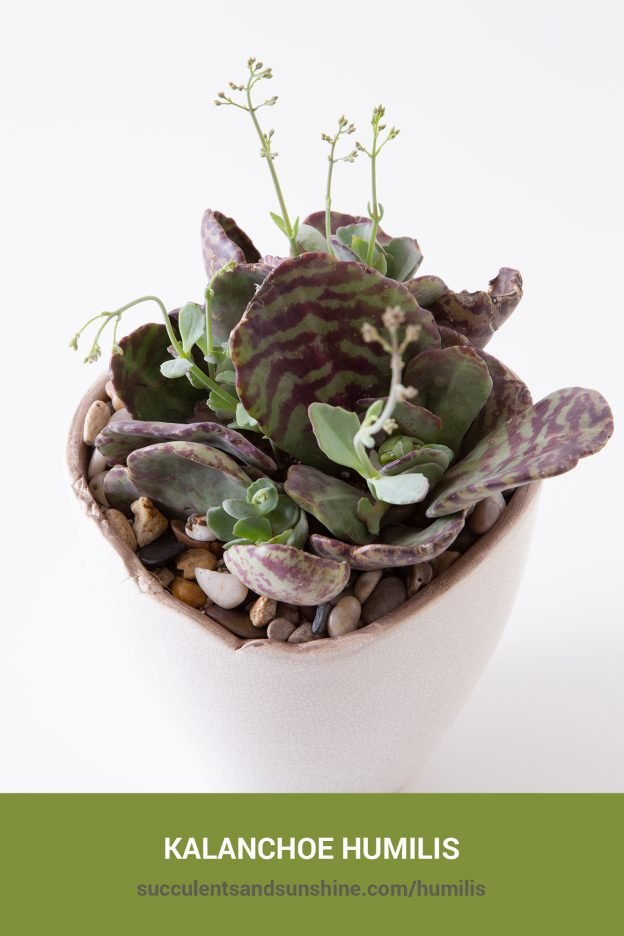 How to care for and propagate Kalanchoe humilis