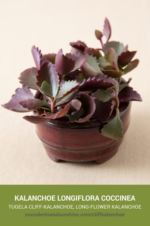 How to care for and propagate Kalanchoe longiflora coccinea