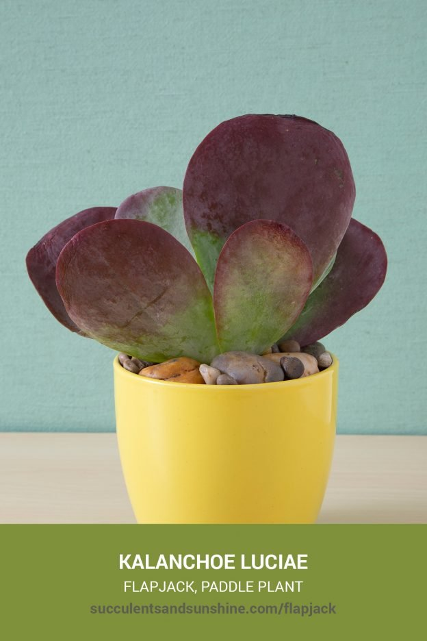How to care for and propagate Kalanchoe luciae Flapjack