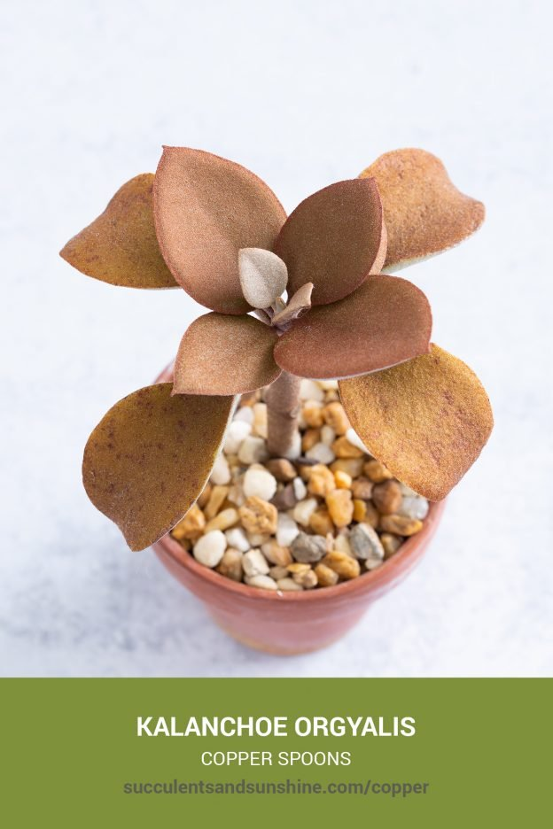 How to care for and propagate Kalanchoe orgyalis Copper Spoons