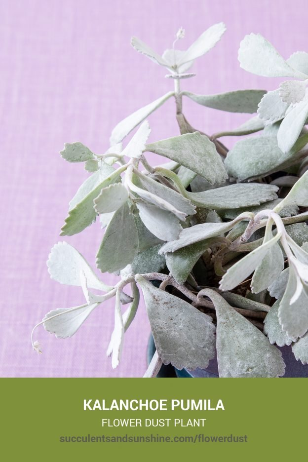 How to care for and propagate Kalanchoe pumila Flower Dust Plant