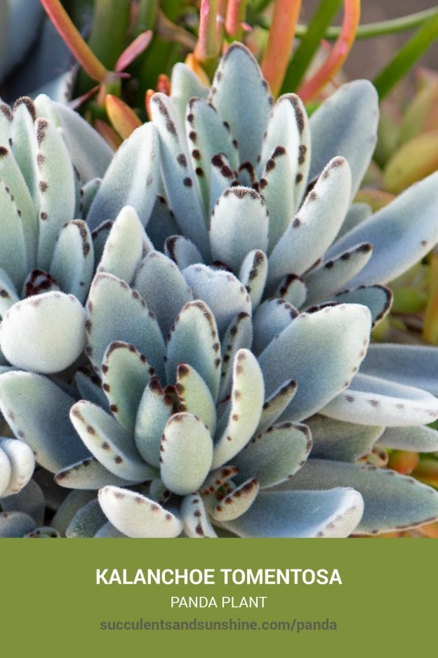 How to care for and propagate Kalanchoe tomentosa Panda Plant