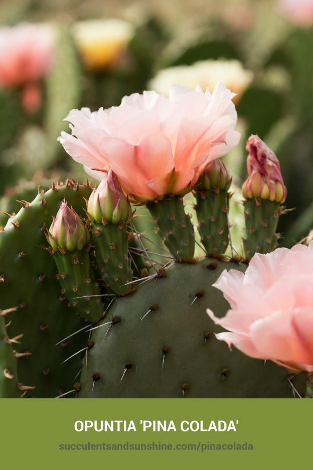 How to care for and propagate Opuntia 'Pina Colada'
