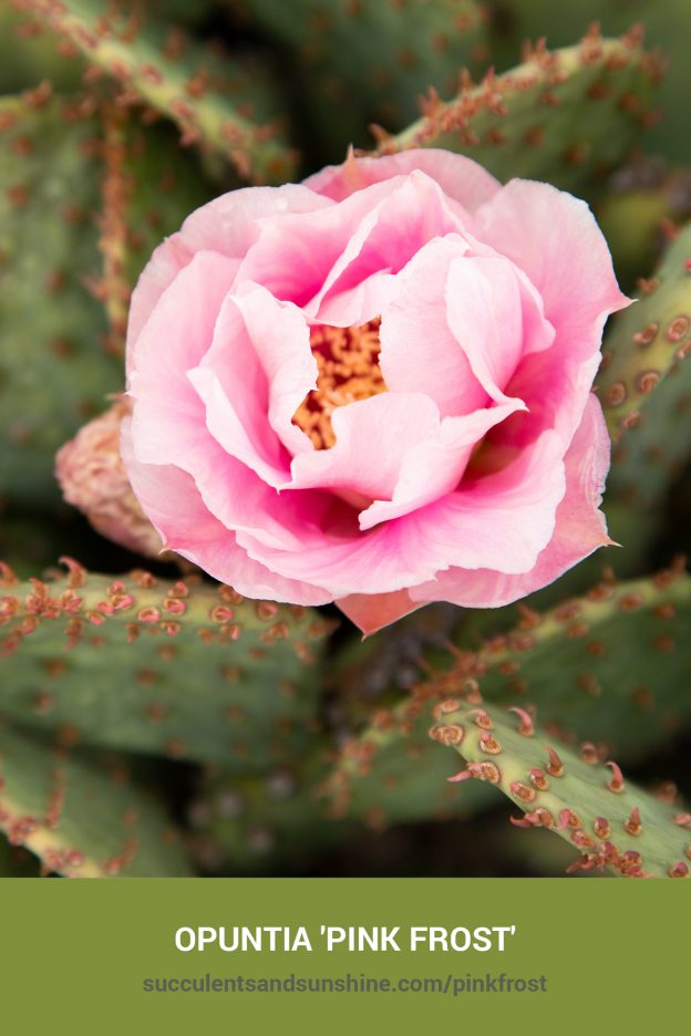 How to care for and propagate Opuntia 'Pink Frost'