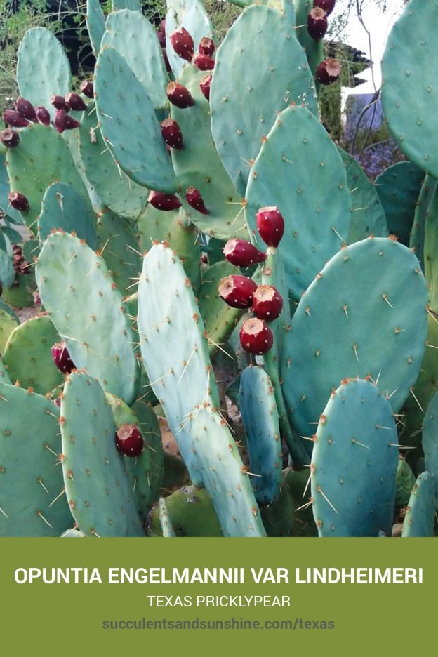 How to care for and propagate Opuntia engelmannii