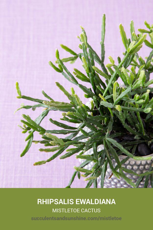 How to care for and propagate Rhipsalis ewaldiana Mistletoe Cactus