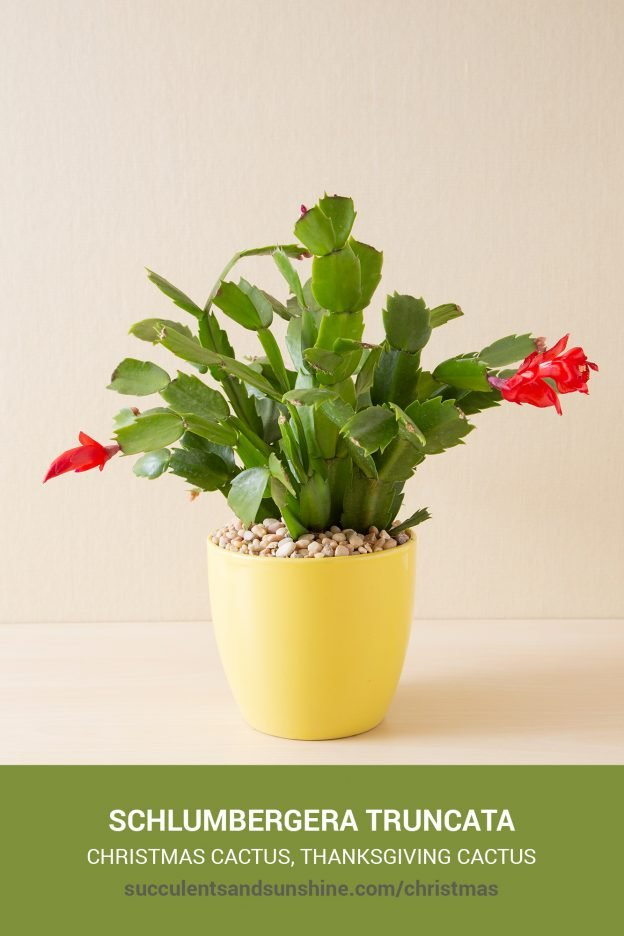 How to care for and propagate Schlumbergera Christmas Cactus
