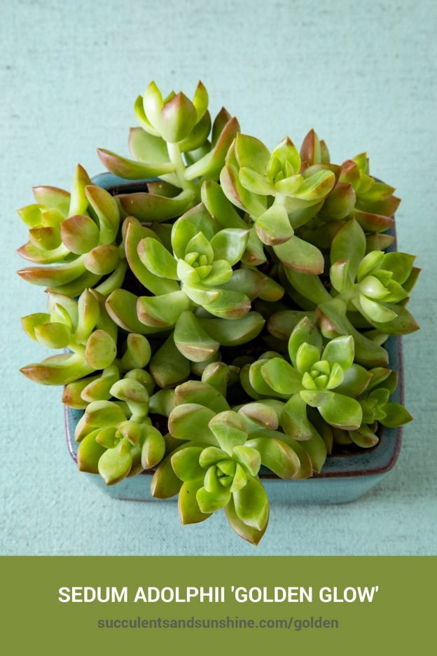 How to care for and propagate Sedum adolphii 'Golden Glow'