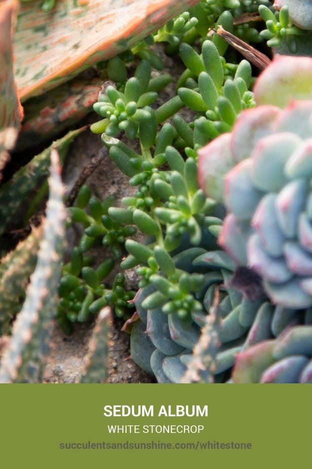 How to care for and propagate Sedum album White Stonecrop