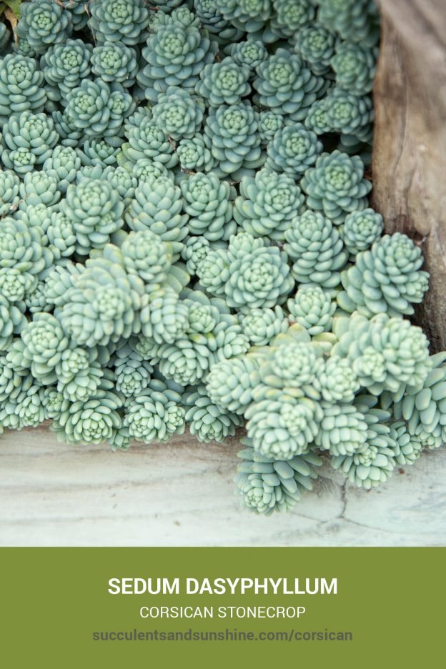 How to care for and propagate Sedum dasyphyllum Corsican Stonecrop