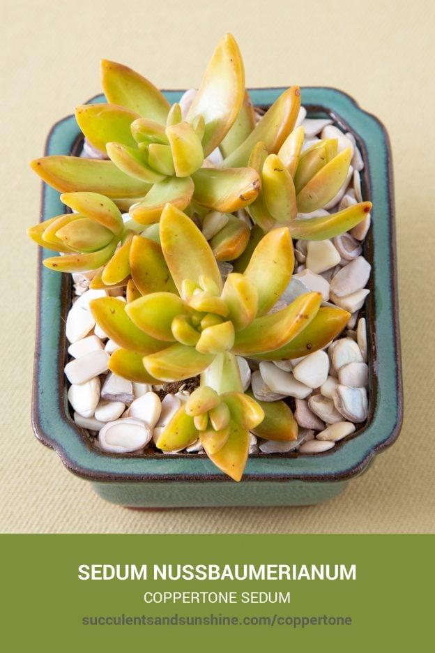 How to care for and propagate Sedum nussbaumerianum Coppertone Sedum