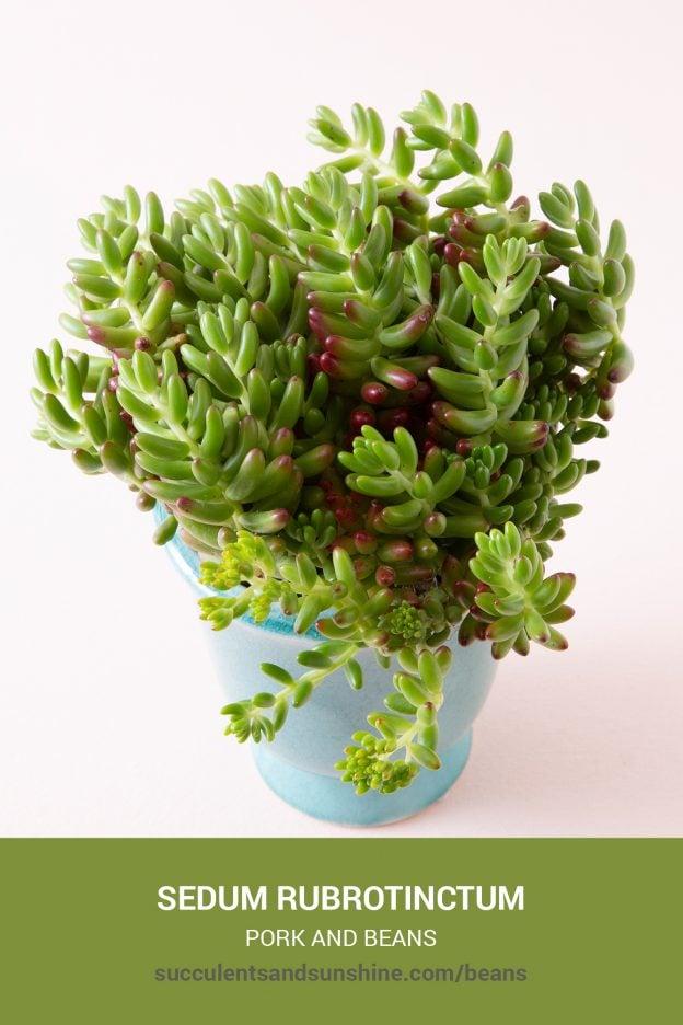 How to care for and propagate Sedum rubrotinctum Pork and Beans