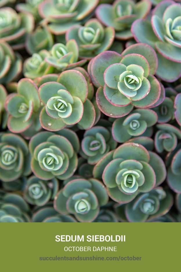 How to care for and propagate Sedum sieboldii October Daphne