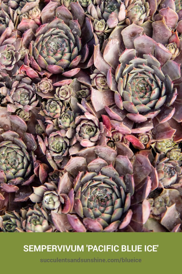 How to care for and propagate Sempervivum 'Pacific Blue Ice'