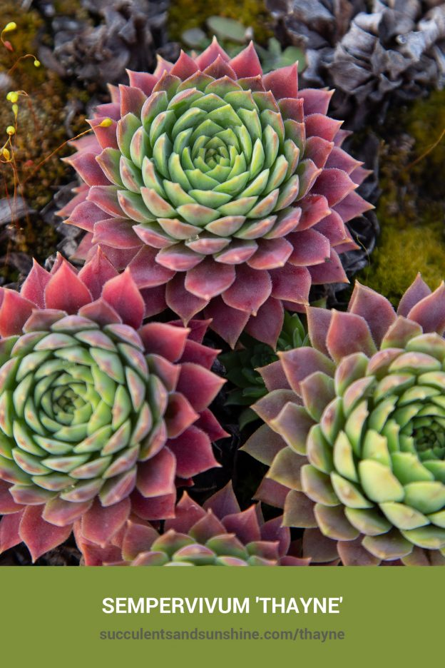 How to care for and propagate Sempervivum 'Thayne'