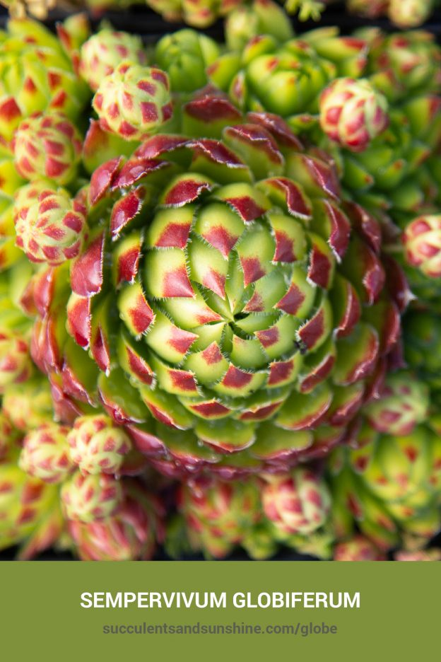 How to care for and propagate Sempervivum globiferum