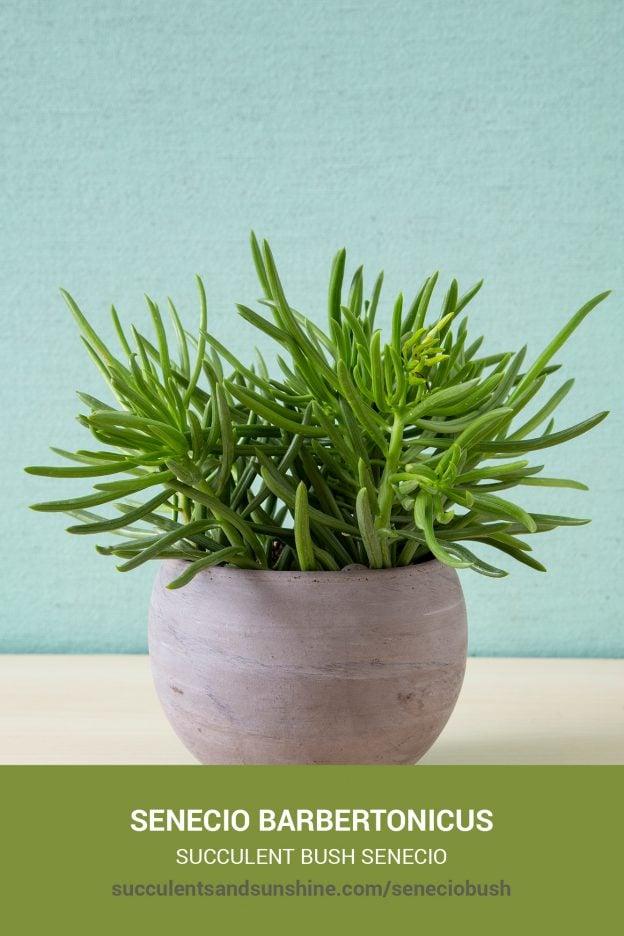 How to care for and propagate Senecio barbertonicus Succulent Bush Sen