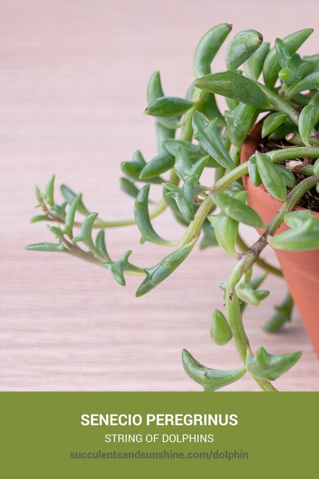 How to care for and propagate Senecio peregrinus String of Dolphins