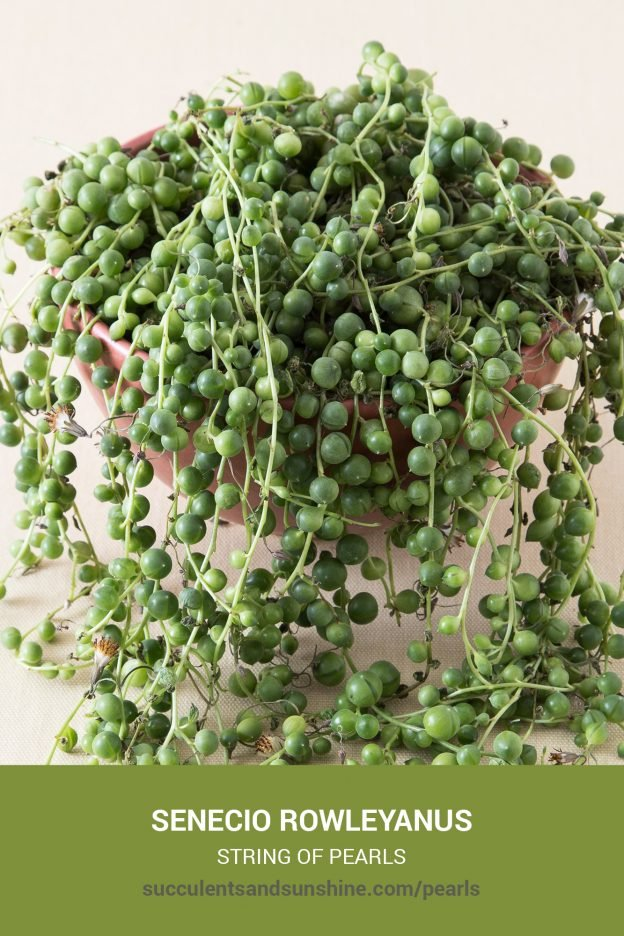 How to care for and propagate Senecio rowleyanus String of Pearls