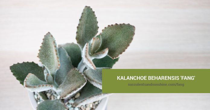 Kalanchoe beharensis 'Fang' care and propagation information