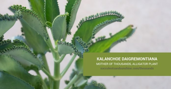 Kalanchoe daigremontiana care and propagation information