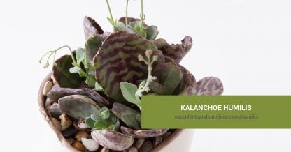 Kalanchoe humilis care and propagation information