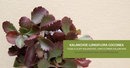 Kalanchoe longiflora coccinea care and propagation information