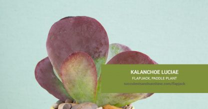 Kalanchoe luciae Flapjack care and propagation information