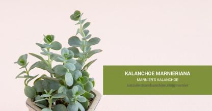 Kalanchoe marnieriana Marnier's Kalanchoecare and propagation information