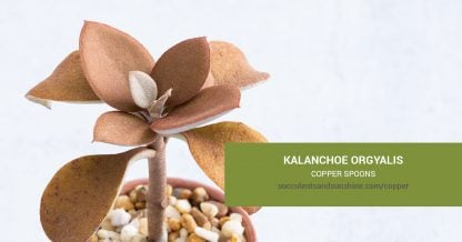 Kalanchoe orgyalis Copper Spoons care and propagation information